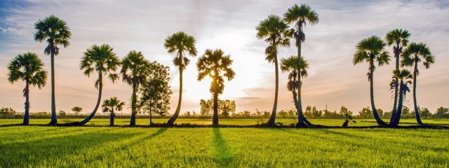 Hàng cây thốt nốt ở An Giang