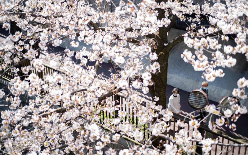 Cảnh đẹp mùa hoa Anh Đào ở Nhật Bản 2021 2