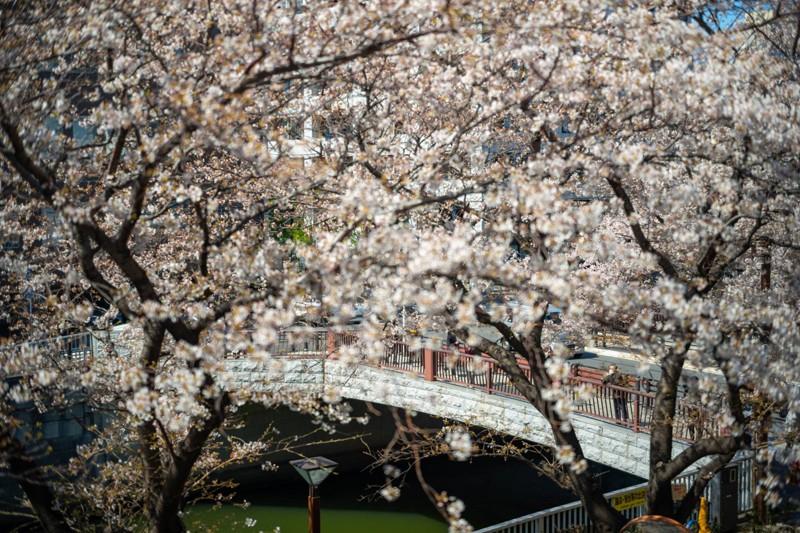 Cảnh đẹp mùa hoa Anh Đào ở Nhật Bản 2021 3