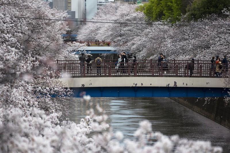 Cảnh đẹp mùa hoa Anh Đào ở Nhật Bản 2021 6