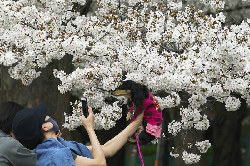 Cảnh đẹp mùa hoa Anh Đào ở Nhật Bản 2021 9