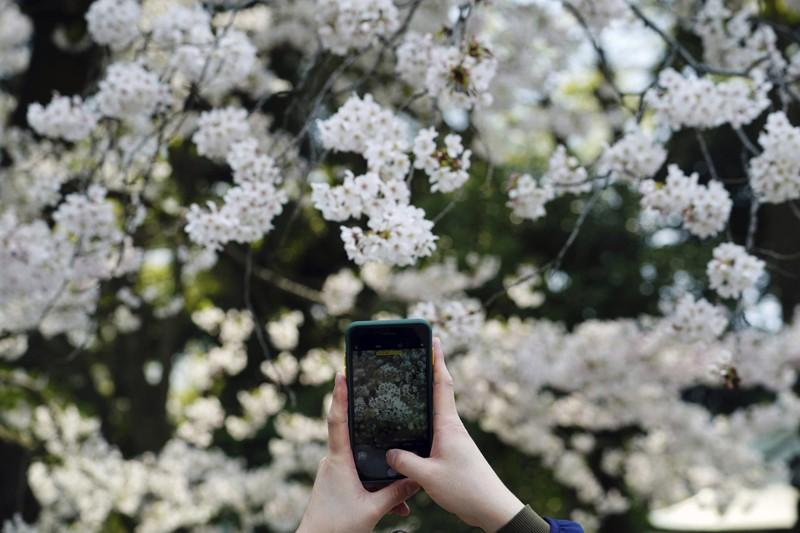 Cảnh đẹp mùa hoa Anh Đào ở Nhật Bản 2021 11