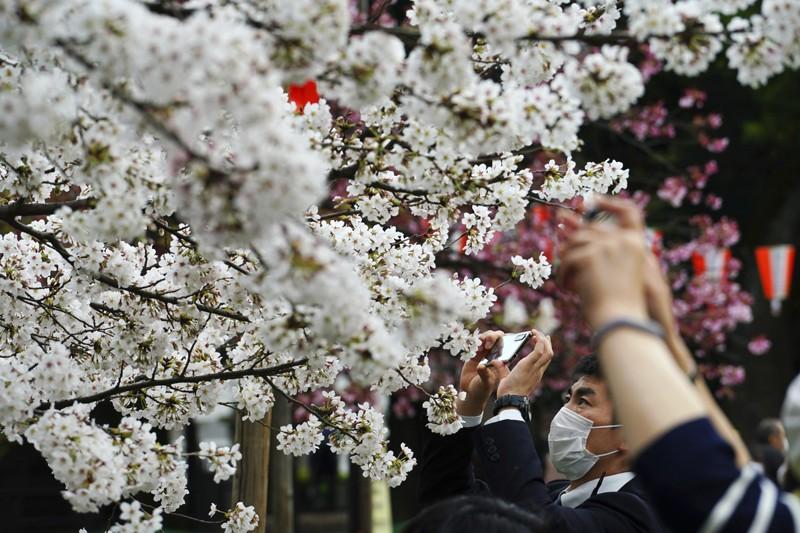 Cảnh đẹp mùa hoa Anh Đào ở Nhật Bản 2021 14