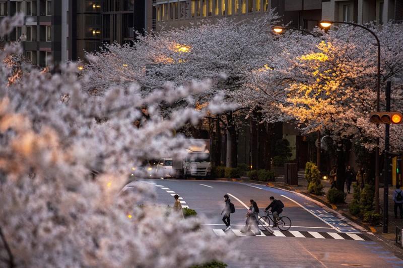Cảnh đẹp mùa hoa Anh Đào ở Nhật Bản 2021 16