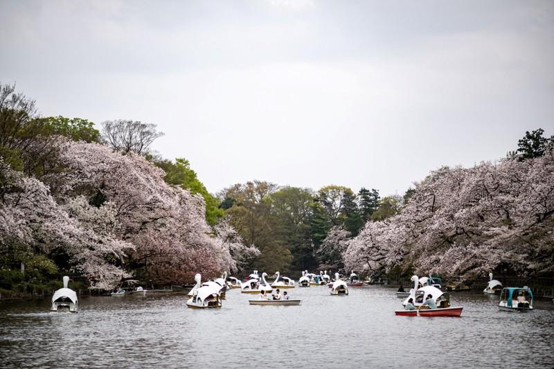 Cảnh đẹp mùa hoa Anh Đào ở Nhật Bản 2021 17
