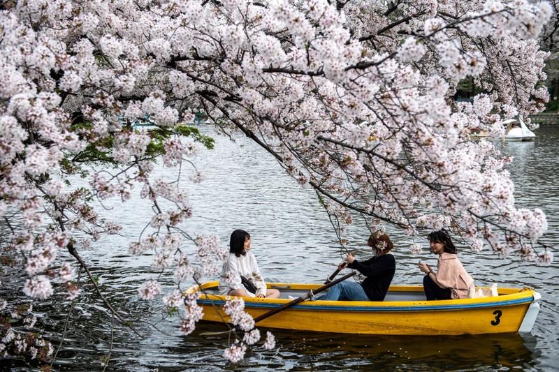 Cảnh đẹp mùa hoa Anh Đào ở Nhật Bản 2021 18