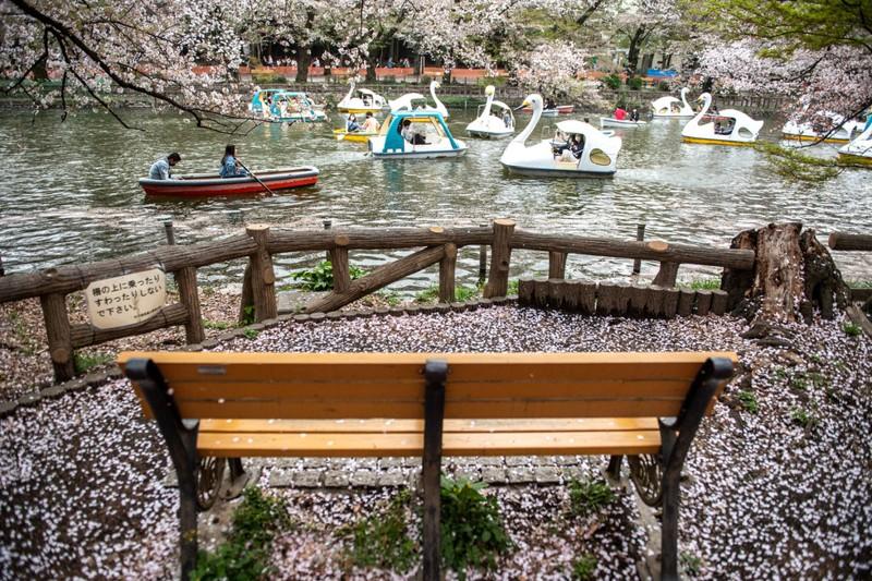Cảnh đẹp mùa hoa Anh Đào ở Nhật Bản 2021 19