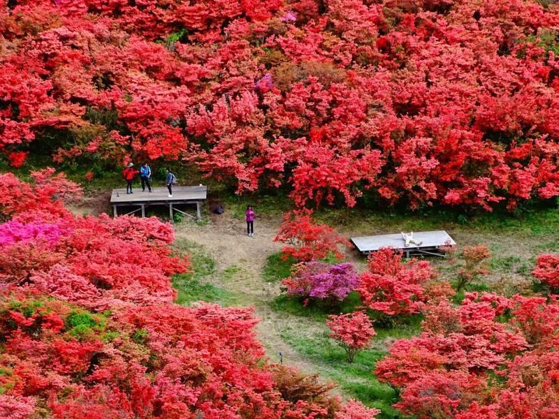 Cảnh đẹp hoa Đỗ quyên ở Nhật Bản 1