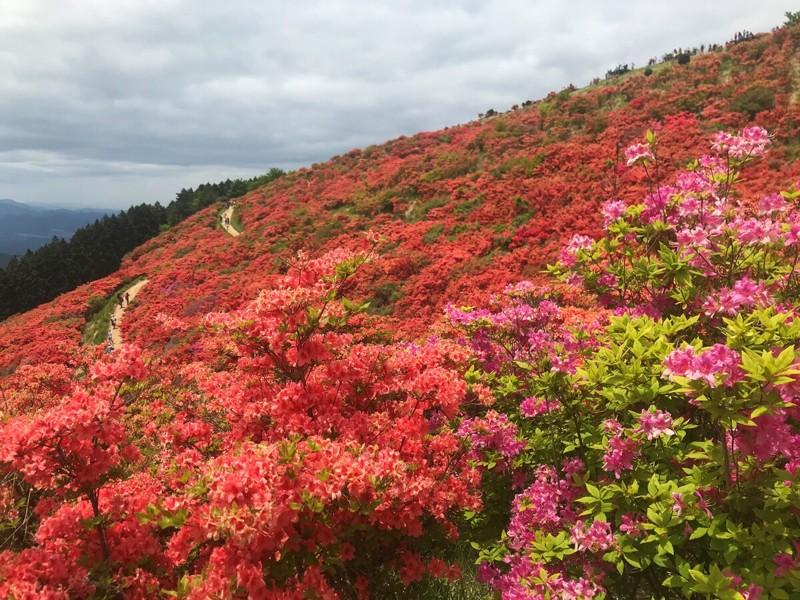 Cảnh đẹp hoa Đỗ quyên ở Nhật Bản 2