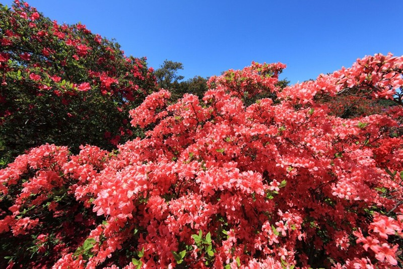 Cảnh đẹp hoa Đỗ quyên ở Nhật Bản 3