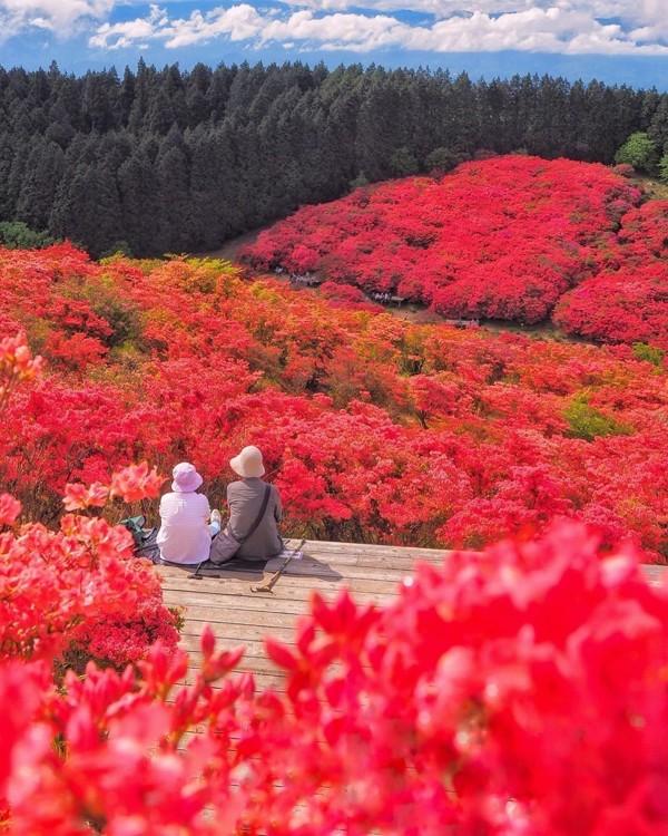 Cảnh đẹp hoa Đỗ quyên ở Nhật Bản 7