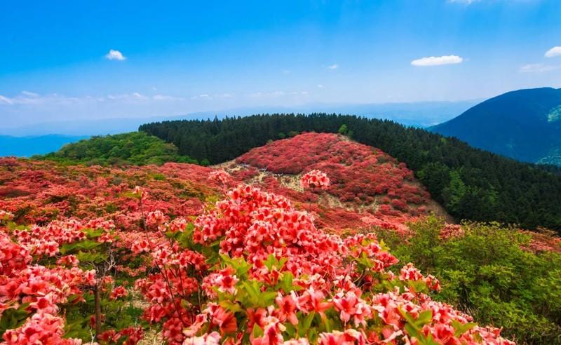Cảnh đẹp hoa Đỗ quyên ở Nhật Bản 8