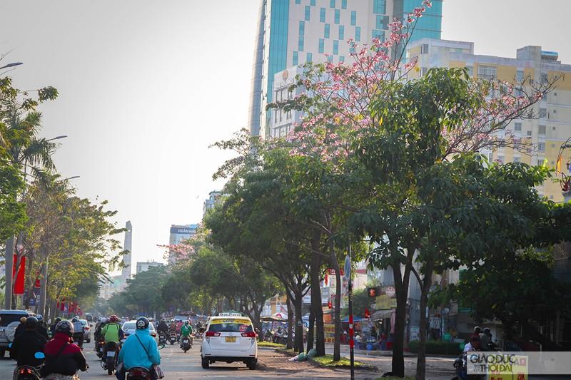 Cảnh đẹp hoa loa kèn hồng trên đường phố Sài Gòn 2