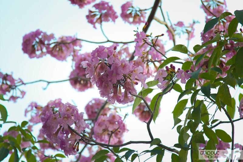 Cảnh đẹp hoa loa kèn hồng trên đường phố Sài Gòn 4