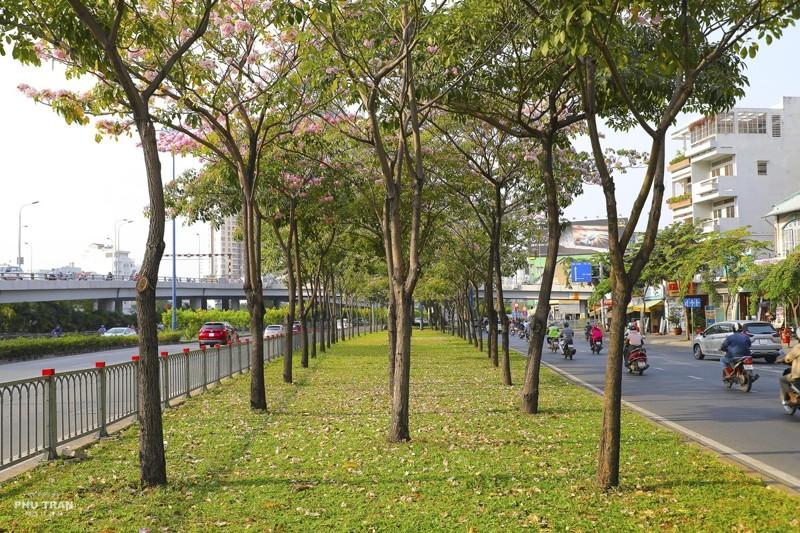 Cảnh đẹp hoa loa kèn hồng trên đường phố Sài Gòn 8