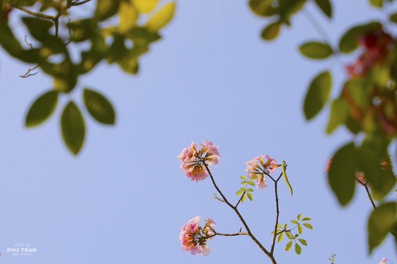 Cảnh đẹp hoa loa kèn hồng trên đường phố Sài Gòn 11