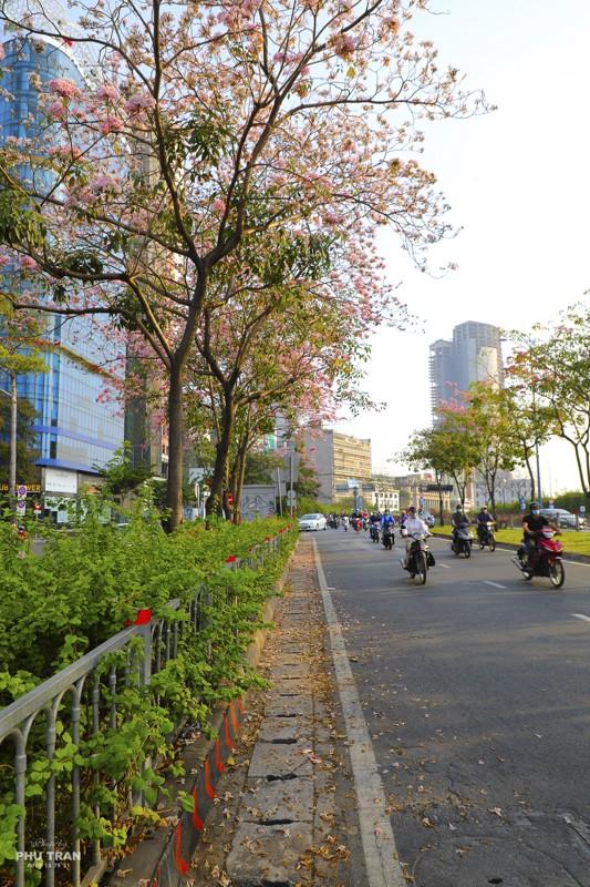 Cảnh đẹp hoa loa kèn hồng trên đường phố Sài Gòn 12
