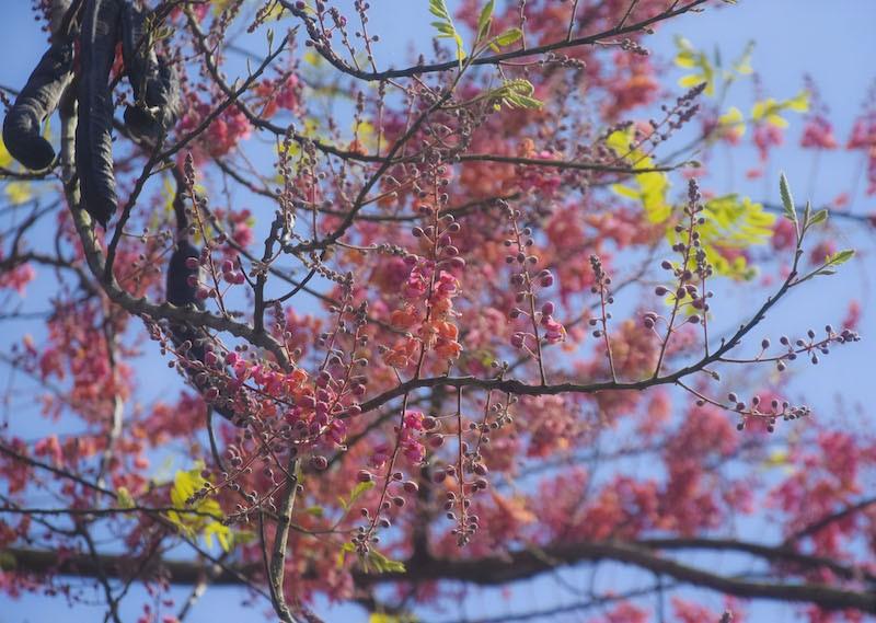 Cảnh đẹp hoa Ô Môi ở Đồng Bằng Sông Cửu Long 4