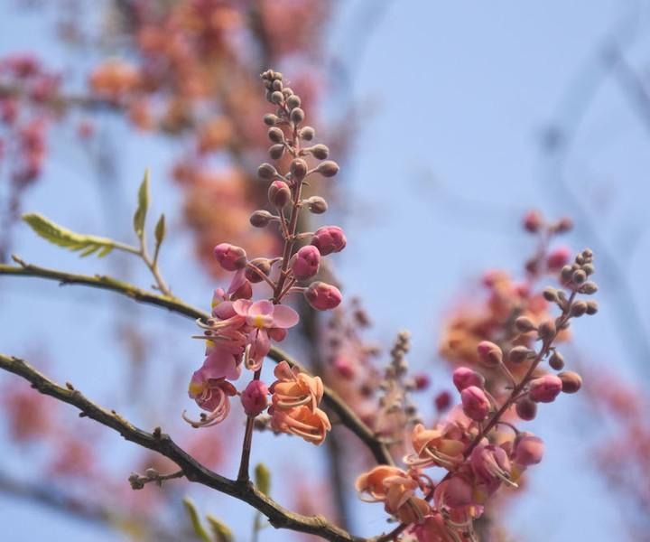 Cảnh đẹp hoa Ô Môi ở Đồng Bằng Sông Cửu Long 5