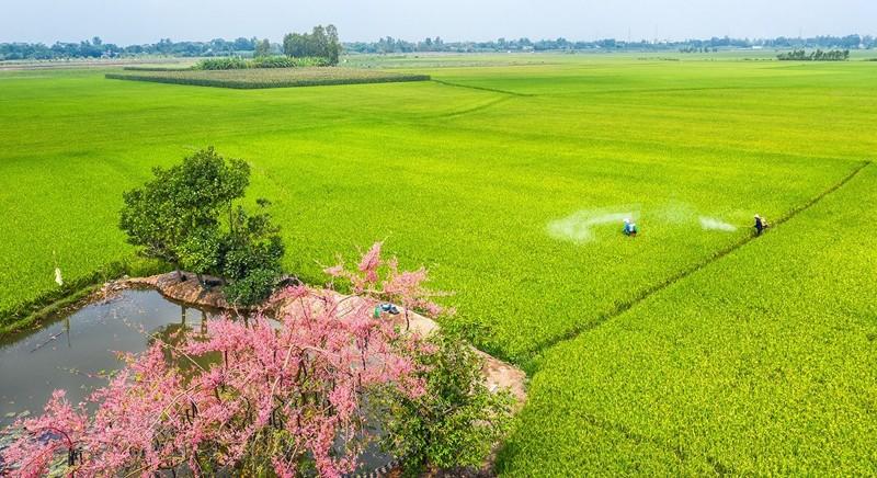 Cảnh đẹp hoa Ô Môi ở Đồng Bằng Sông Cửu Long 6