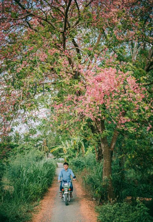 Cảnh đẹp hoa Ô Môi ở Đồng Bằng Sông Cửu Long 9