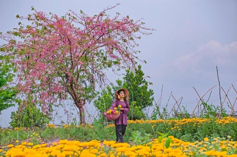 Cảnh đẹp hoa Ô Môi ở Đồng Bằng Sông Cửu Long 10