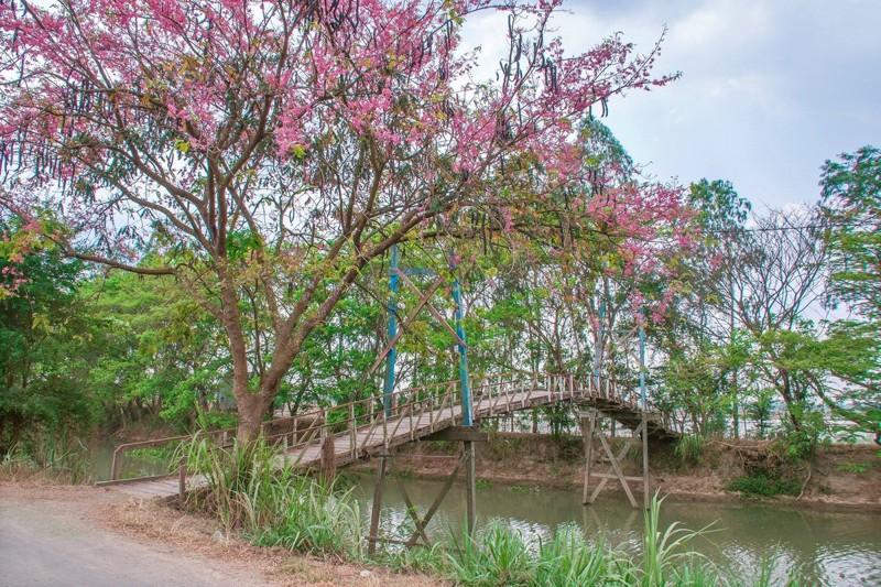 Cảnh đẹp hoa Ô Môi ở Đồng Bằng Sông Cửu Long 11