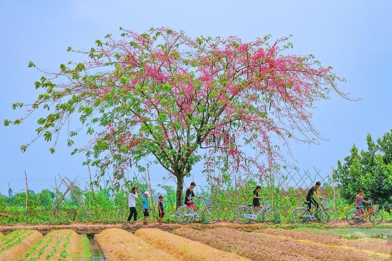 Cảnh đẹp hoa Ô Môi ở Đồng Bằng Sông Cửu Long 12
