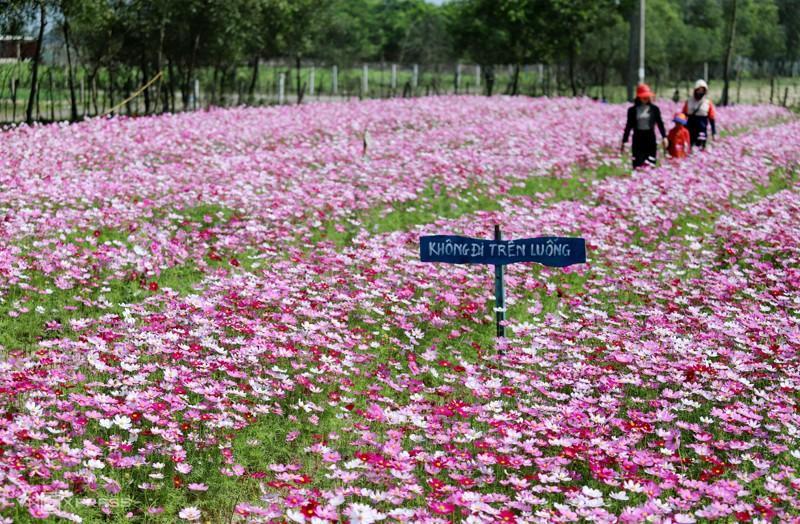Cánh đồng hoa cánh bướm ở huyện Thạch Hà, Hà Tĩnh 6