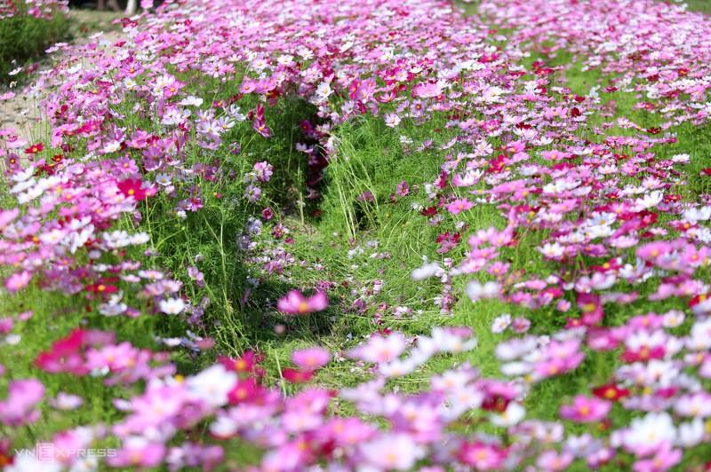 Cánh đồng hoa cánh bướm ở huyện Thạch Hà, Hà Tĩnh 9