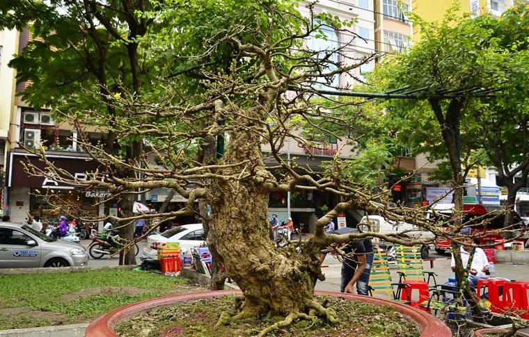 Trái, cây cảnh độc lạ trưng Tết Kỷ Hợi ở TP.HCM 1