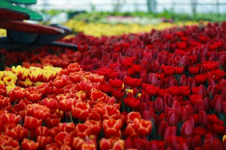 Vườn hoa Tulip ở Vinpearl Land Nha Trang 2